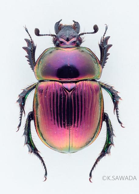 オオセンチコガネ名義タイプ亜種 Phelotrupes(Chromogeotrupes) auratus auratus (Motschulsky,1857) 富山県産-12
