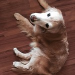 眠くなっちゃった。ここで寝るよ! I'll sleep on the floor. #golden_retrievers #dog #WebstaPets #photooftheday #dogs #retriever  #犬 #ゴールデンレトリーバー  #レトリバー #ゴールデン #犬バカ部 #癒しワンコ #ふわもこ部 #ゴールデンレトリバー #dogsofinstagram #ilovemydog #instagramdogs #dogoftheday #lovedogs #doglover