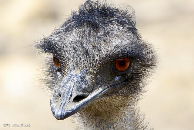 L'Emeu d'Australie - Dromanius novaehollandiae