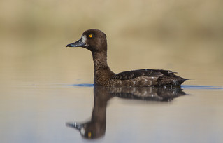 Tufted duck (Aythya fuligula) Гэзэгт шумбуур | by Tuvshintogs