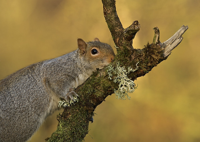 Grey Squirrel DSC_6536