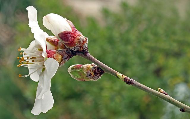 Prunus dulcis (Rosaceae) 058 16