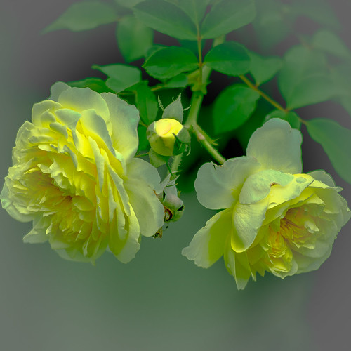 roses rose ngc npc davidaustinroses alittlebeauty coth5 healinglightofthespirit
