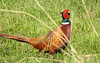 Common pheasant by m2onen