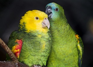 Parrots loving each other | by Tambako the Jaguar