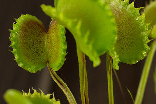 Dionaea Seed Grown 006 | by Taudan Plants