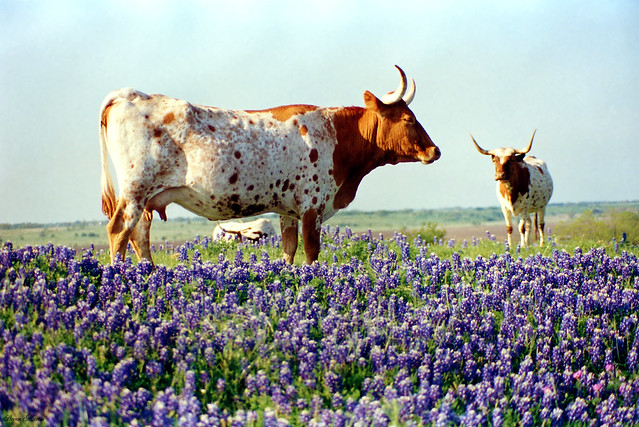 Cattle & Bluebonnets, Ennis Bluebonnet Trail