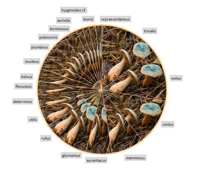 Lactarius species/specimen diagram