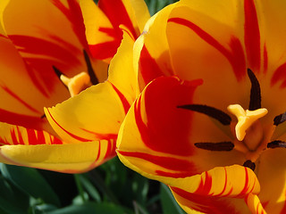 Yellow and red flame tulip