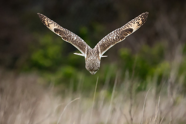 Vee Shaped Owl