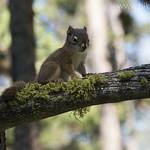 Juvenile Red Tree Squirrel