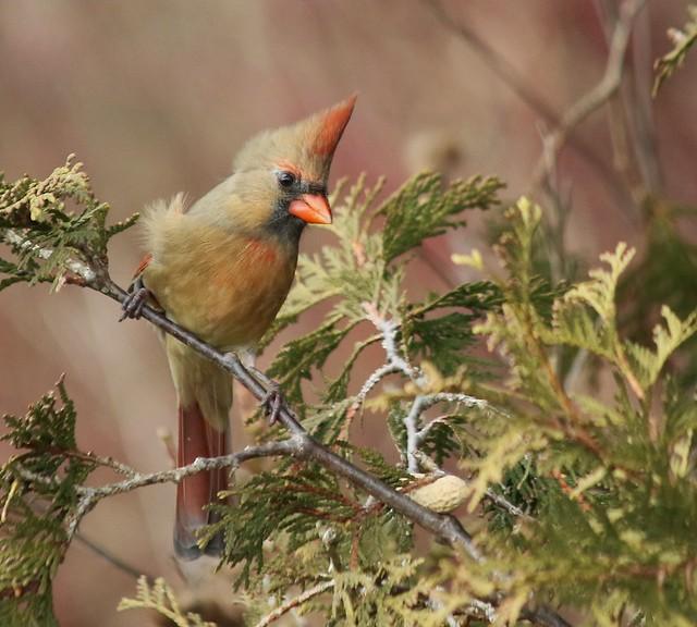 Cardinal (F)   ...   Scarborough, Ontario