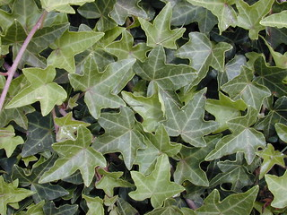 starr-010419-0076-Hedera_helix-leaves-Kula-Maui | by Starr Environmental