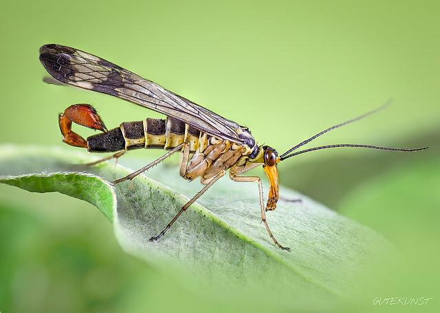 So, 2014-04-27 16:38 - scorpion fly in the meadow.  ACHTUNG: Fliegender Skorpion. Die Skorpionsfliegen (Panorpidae) sind wirklich faszinierend. Das Genitalsegment der Männchen erinnert an Skorpionsstachel produziert im Falle dieser Fliegen aber Lockstoffe die Weibchen anlocken. Diese erhalten meist ein sog. Paarungsgeschenk z.B. andere tote Insekten und sind davon so beeindruckt, dass es zur Kopulation kommen kann.