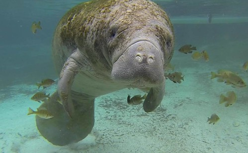 West Indian manatee | by USFWS/Southeast