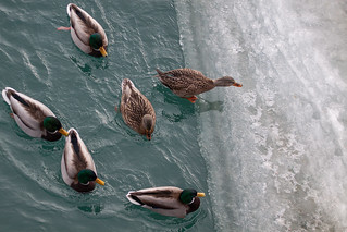 Ducks from above | by Jacques P Raymond