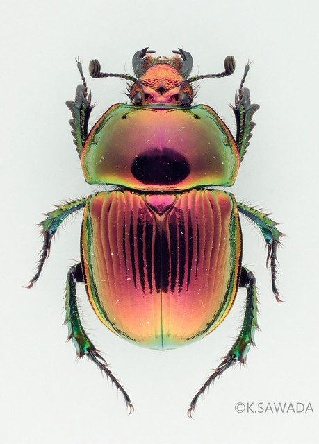 オオセンチコガネ名義タイプ亜種 Phelotrupes(Chromogeotrupes) auratus auratus (Motschulsky,1857) 富山県産-1