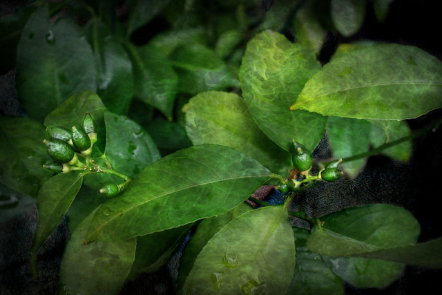Limes Forming On the 3-Fruits Citrus Tree