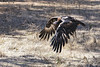 Wedge-tailed Eagle 2016-03-13 (_MG_9966) by ajhaysom
