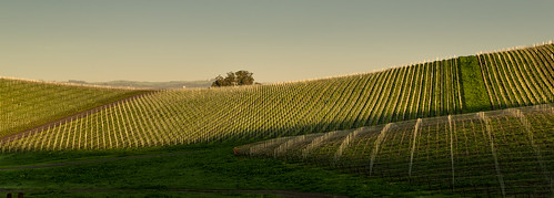 california shadow sunrise dawn vineyard unitedstates hill winery napa petaluma agriculture hillside goldenhour