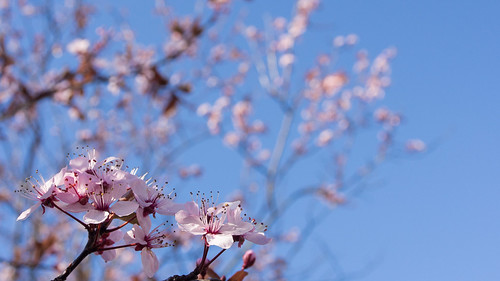 Cheery Blossom in my backyard | by *petitpor*