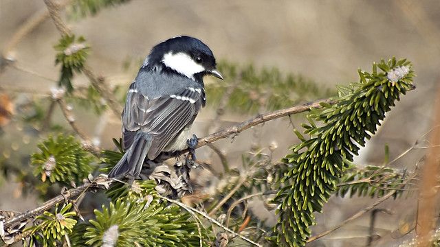 Coal Tit over the branches