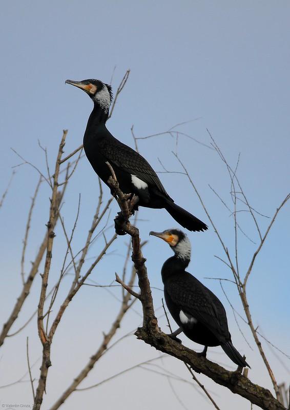 _cormorani 3