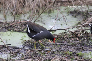 Common Gallinule (Gallinula galeata) | by Gerald (Wayne) Prout