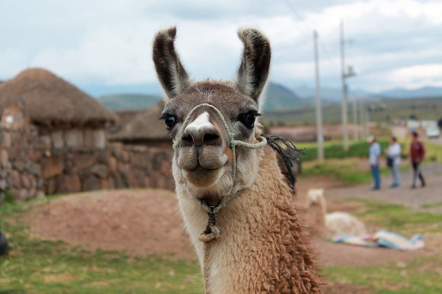 llama - explored :)