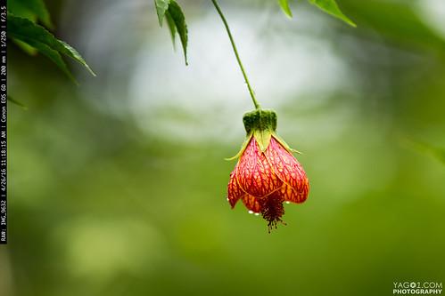 flower elpangui ecuador flowering maple abutilon selections abutilonselections