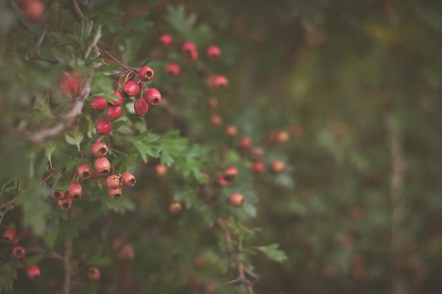 Where berries grow