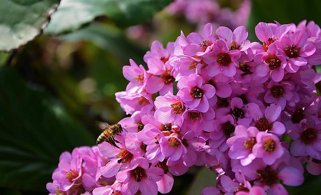 Bergenia ... Il  Fiore  di  San Giuseppe