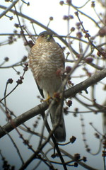 Sharp-shinned Hawk, Armstrong Twp., PA 3/1/2016