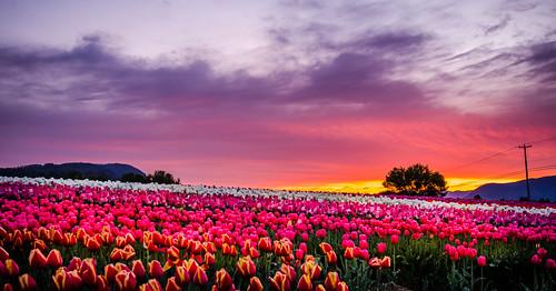 plant sunrise skyscape spring nikon bright britishcolumbia wideangle flowerbed tulip april fields serene colourful brilliant abbotsford tulipfarm d7000
