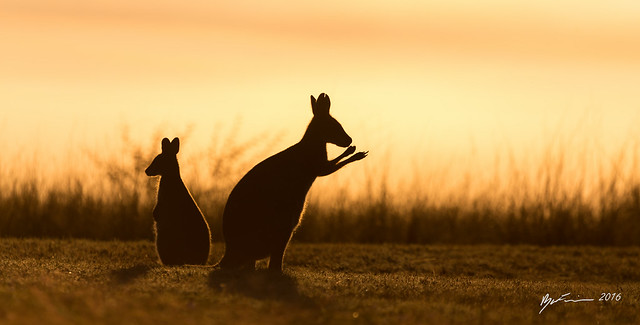 Mum and Joey Red-necked Wallabies