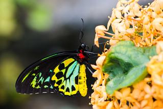 Male Birdwing   Troides aeacus