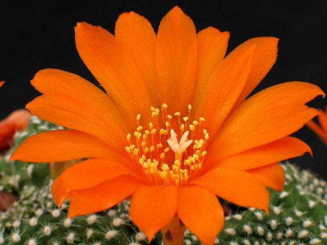 Rebutia marsoneri  (Flor)
