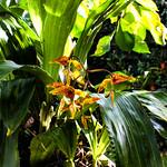 Gongora rufescens Flower