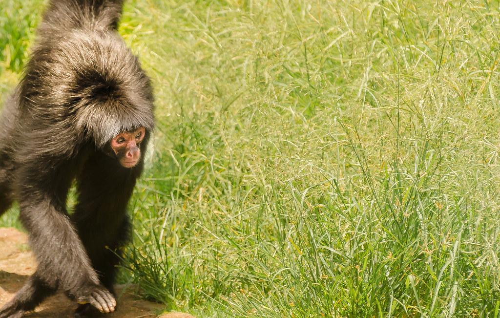 Visita ao Zoológico de São Paulo, Brasil - Visit the Zoo Sao Paulo, Brazil - Macaco-aranha-de-cara-vermelha (Ateles paniscus)