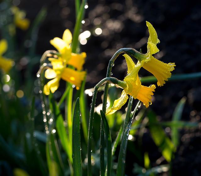 Dwarf daffodils after heavy rain