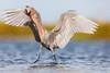 """""""Tada!"""" - Reddish Egret by Greg Gard"""