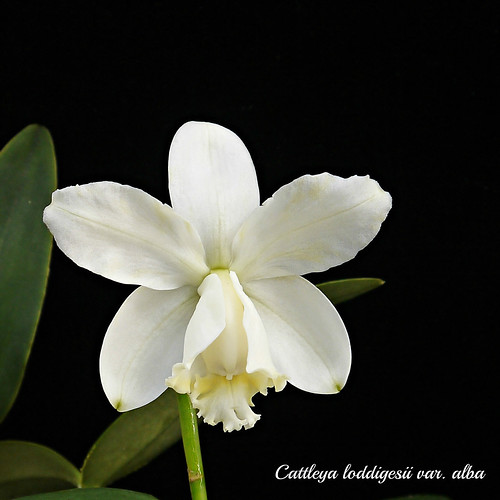 Cattleya loddigesii var. alba | by emmily1955