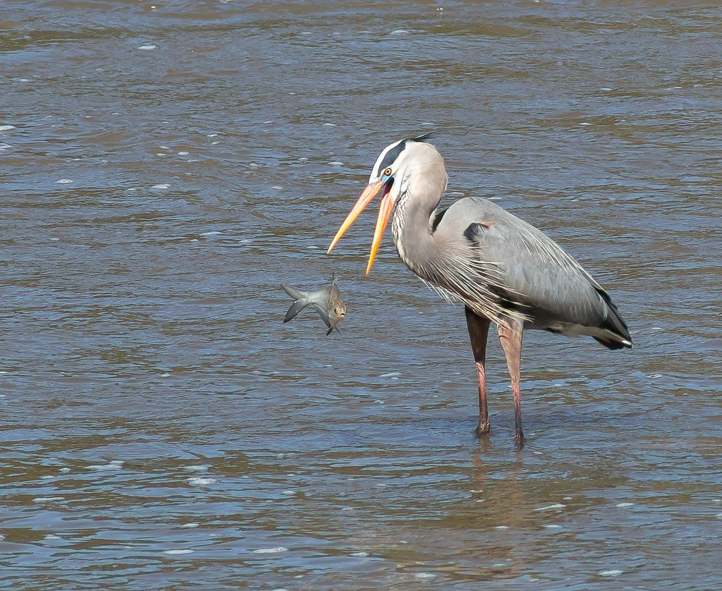 Great Blue Heron catching fish in Haw River