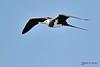 Ascension frigatebird - Frégate aigle-de-mer - Fragata de Ascension - Fregata aquila by Rafael G. Sanchez