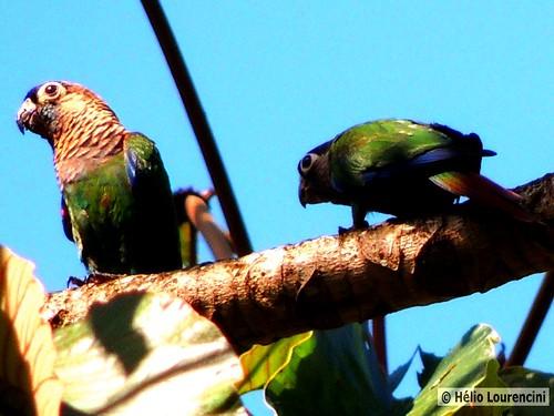 Tiriba-perola [Pearly Parakeet]   by Helio Lourencini