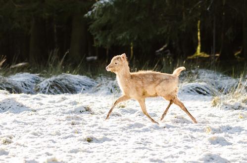 White Fallow Deer-5 | by Philip Blair's Photos