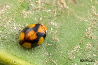 Pill-like planthopper (Hemisphaerius sp.) - DSC_6736