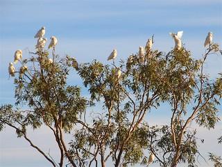 Kaketoes bij zonsopgang in de Outback - Cockatoos at sunrise