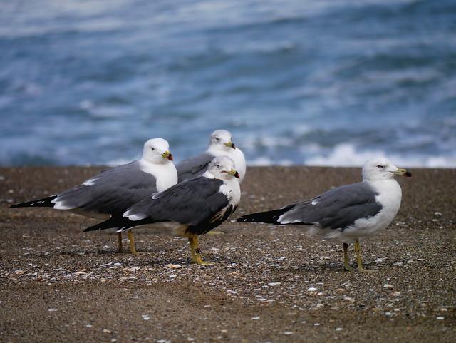 海鷗 Seagulls