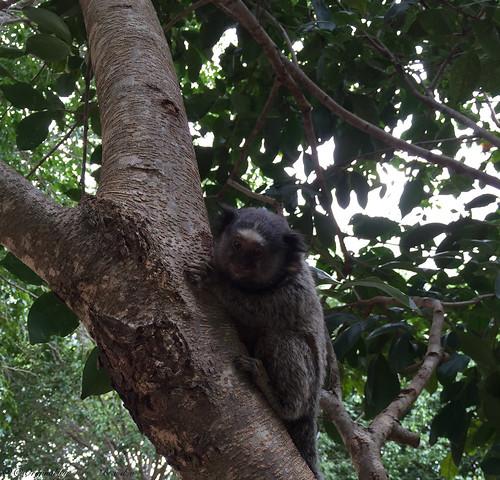 Série com o Sagui-de-tufos-pretos (Callithrix penicillata) - Series with the Black-ear-tufted-marmoset - 15-02-2016 - IMG_0576
